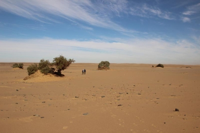 Tamarisk trees growing in the desert, along the course of the Holocene Nile channel.