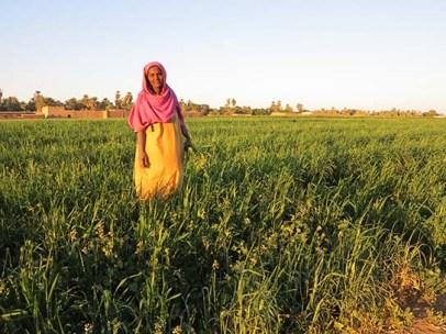 Collecting crop weeds for animal fodder, Ernetta
