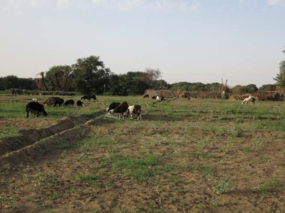 Tethered animals in fields after fuul-bean harvest